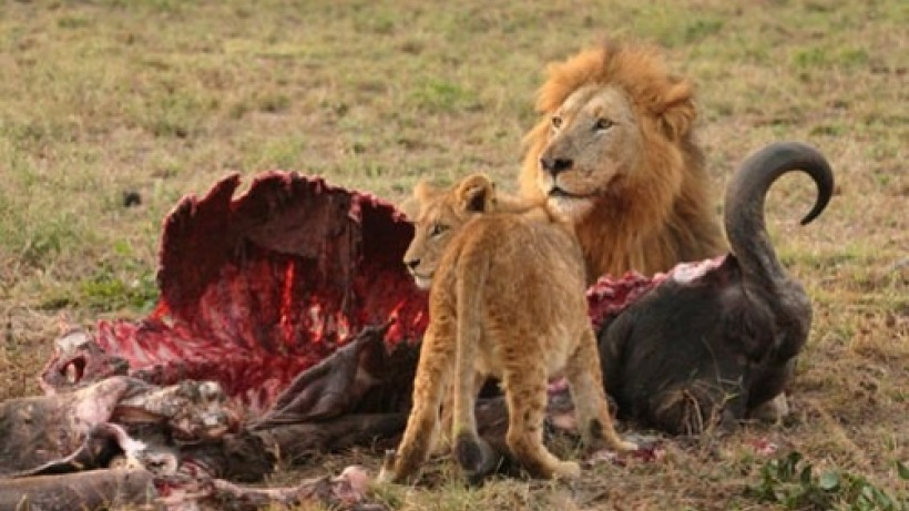 lion_eating_in_the_wild.jpg